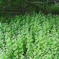 Garlic mustard spreads into high quality woodlands upland and floodplain forests, not just into disturbed areas. Invaded sites undergo a decline on native herbaceous cover within 10 years. Garlic must